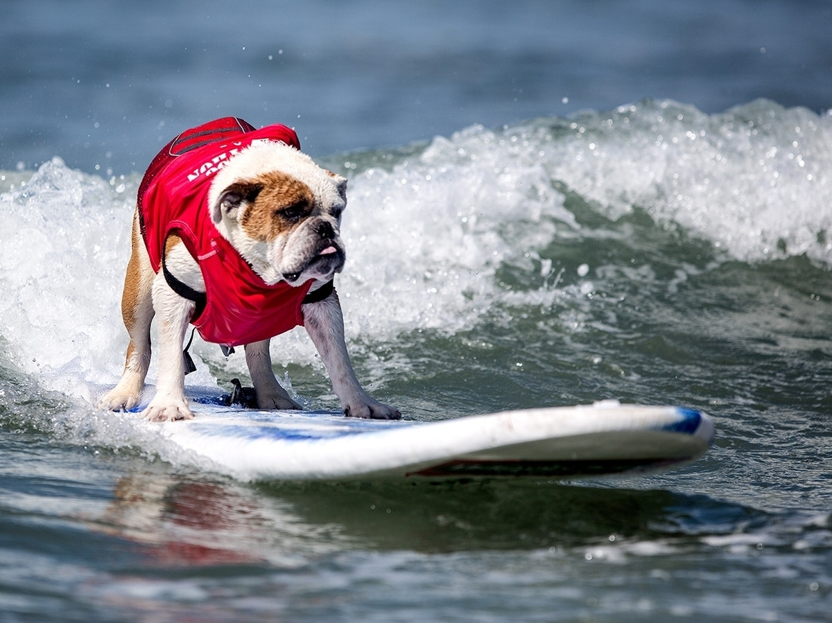 bulldog surfer surfing dogs an instant conversation the