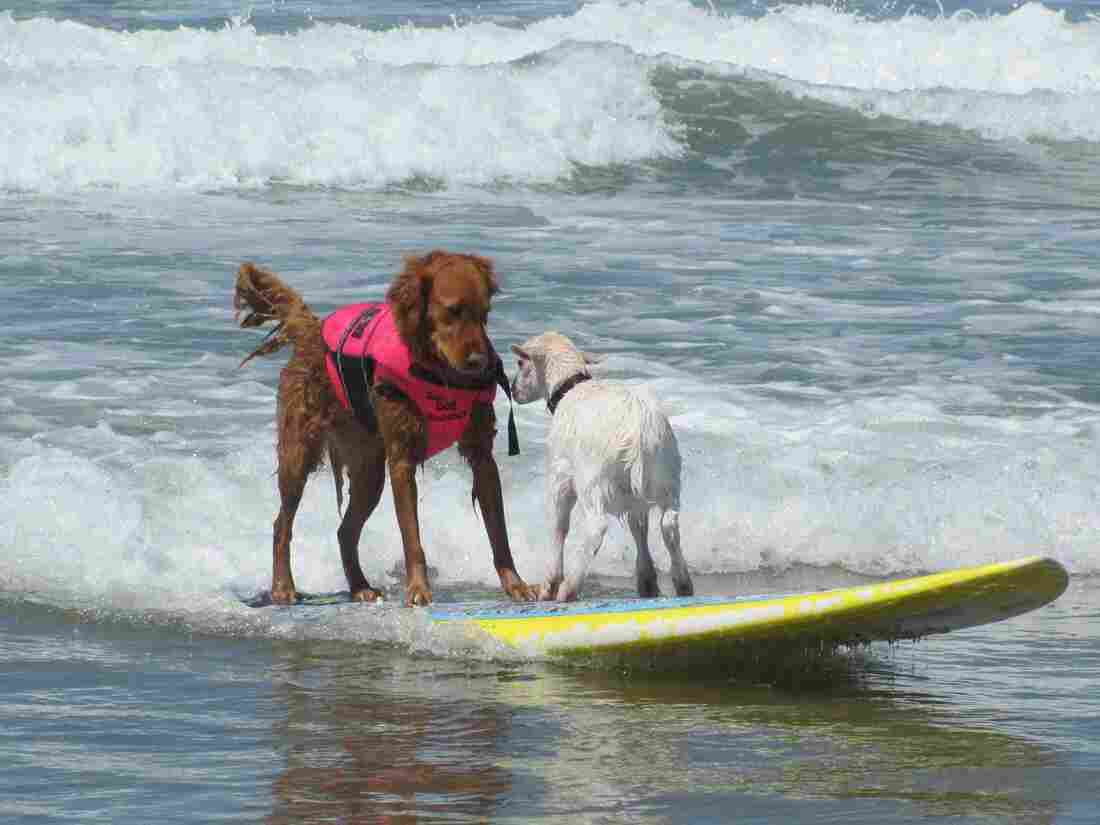So a dog and a goat went surfing and...