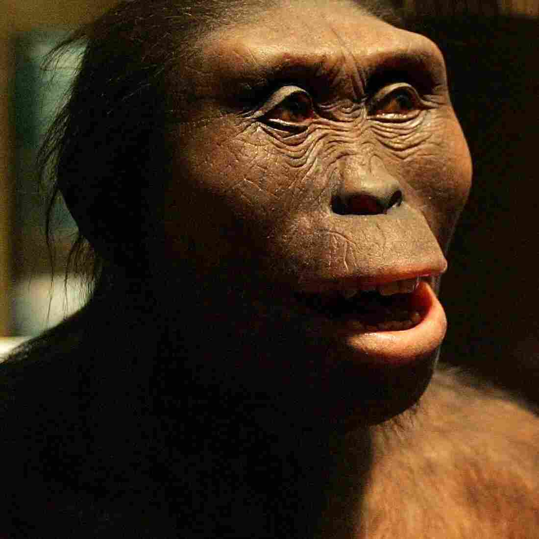 """Human evolution is an unfolding process with chapters yet to be written; no one really knows where we're going. But we can look back to earlier chapters, with ancestors like Australpithecus afarensis, including the individual we call """"Lucy"""" (seen above), for an understanding of how evolution works and what has happened to us over time."""
