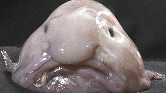 You may not want to look blobfish named 39 ugliest animal for Big nose fish