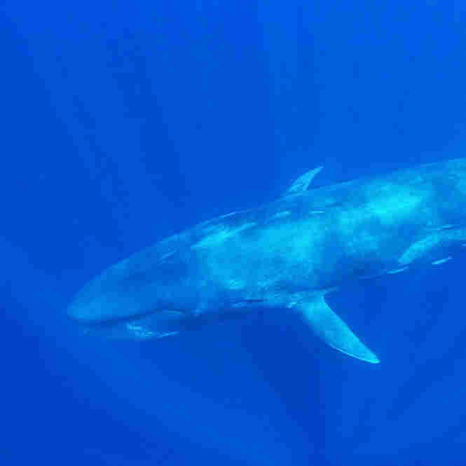 A blue whale (and human diver) swimming off the coast of Trincomalee, Sri Lanka, in April 2011.