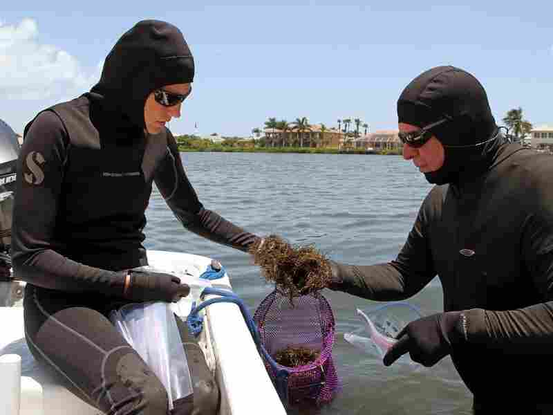 Biologists Laura Herren and Brian Lapointe bag red sea grass at Shorty's Pocket, a site in the Indian River lagoon. Manatees have died from eating the toxic macro algae.
