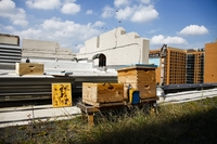 The bees will start producing honey next spring and are expected to yield about 60 pounds of honey per hive. That's equivalent to a five gallon bucket per hive each month.