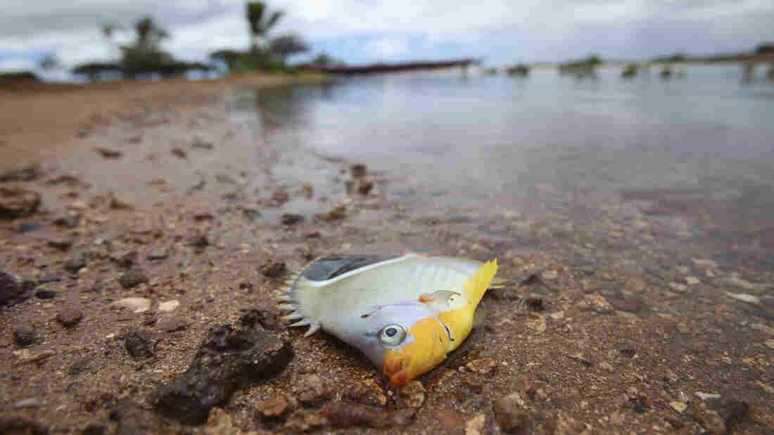 One of the fish thought to have died because of the molasses spill off Honolulu.
