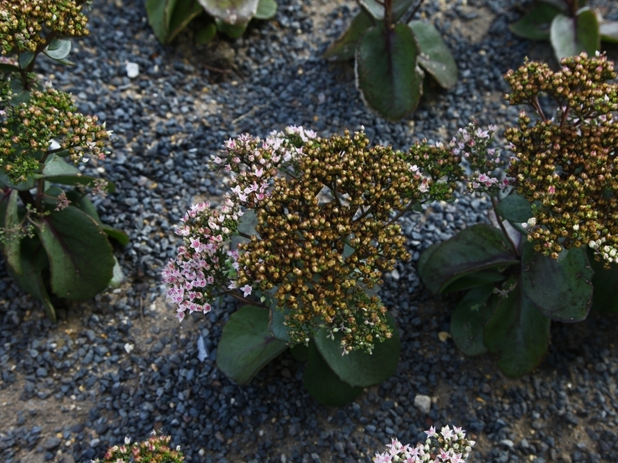 Most of the plants on the green roof are sedums, which are drought-tolerant plants with water-retaining leaves. There are also wild spring onions and alliums.