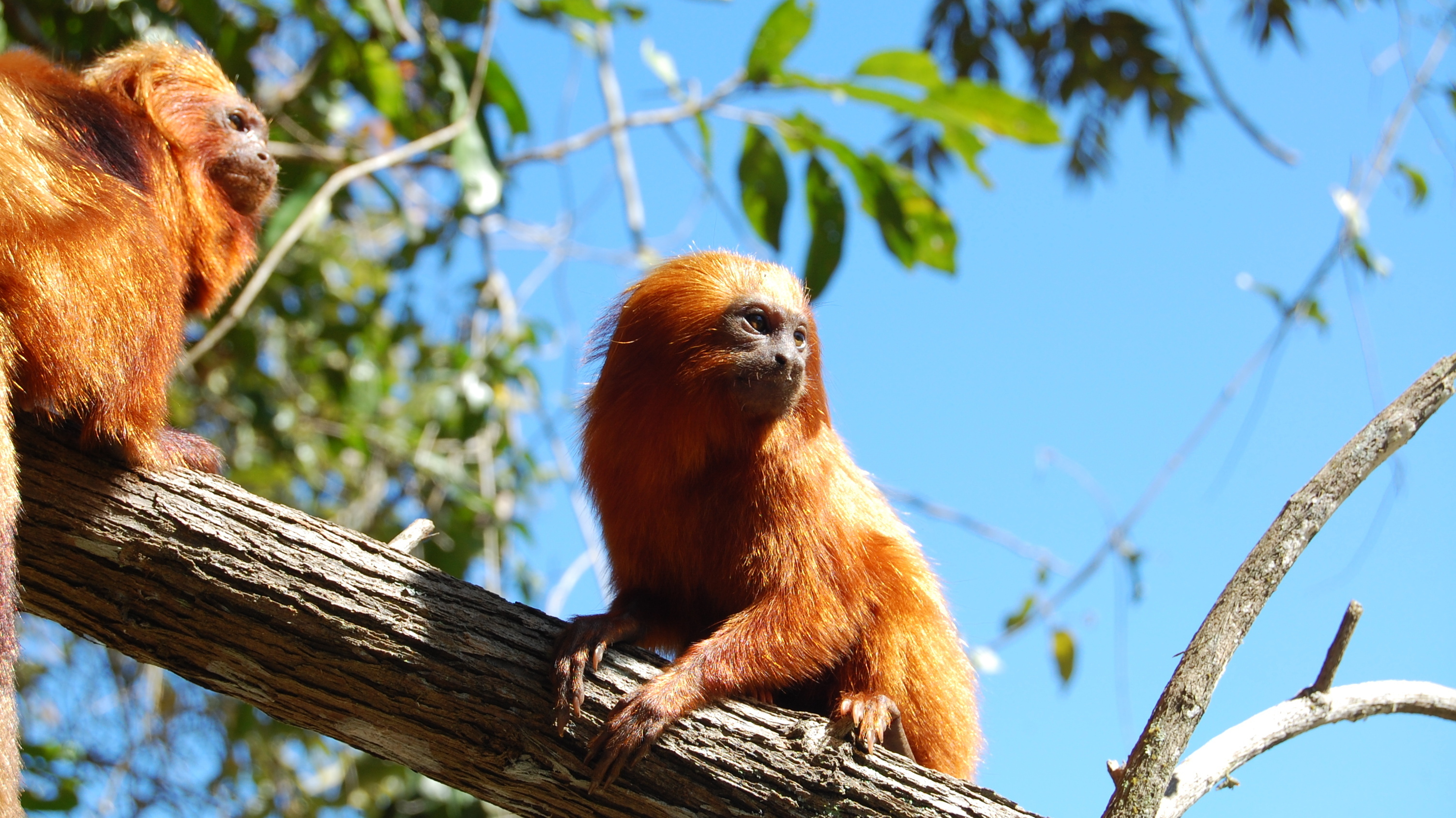 Beloved Brazilian Monkey Clings To A Shrinking Forest