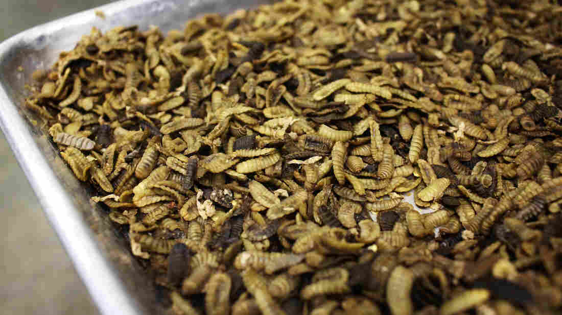 Cooked, dehydrated larvae of the black soldier fly can be processed into feed for fish or pigs.