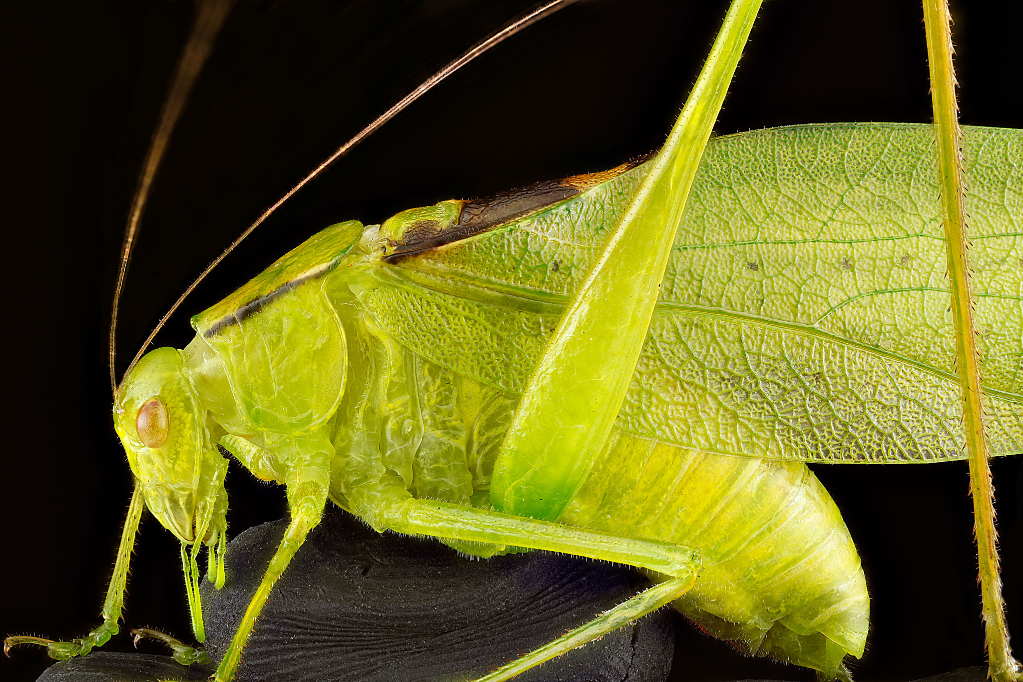 Oblong-winged katydid, Upper Marlboro, Md., July 2012