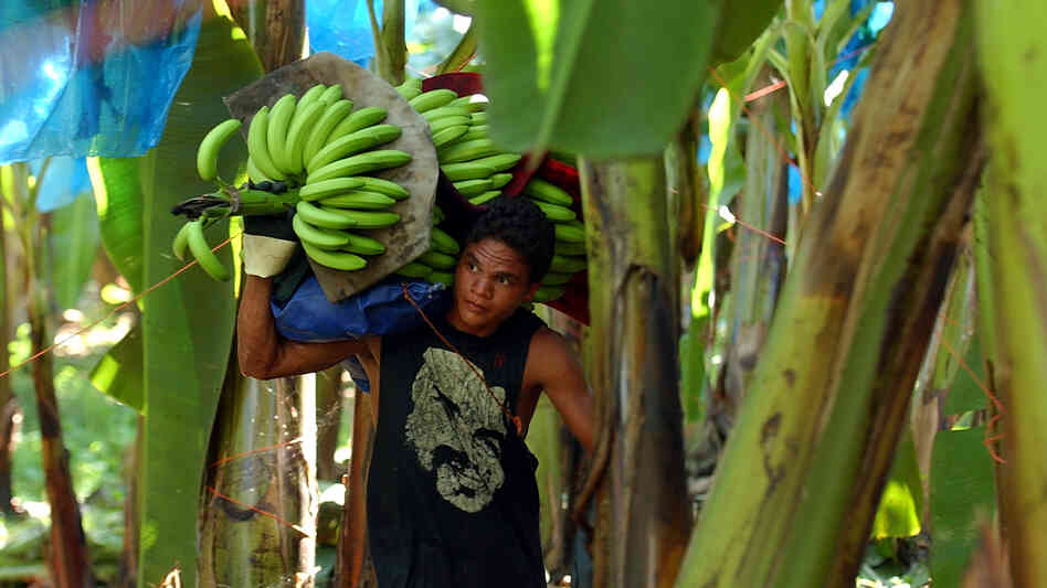 A Costa Rican banana worker carries a stalk of freshly