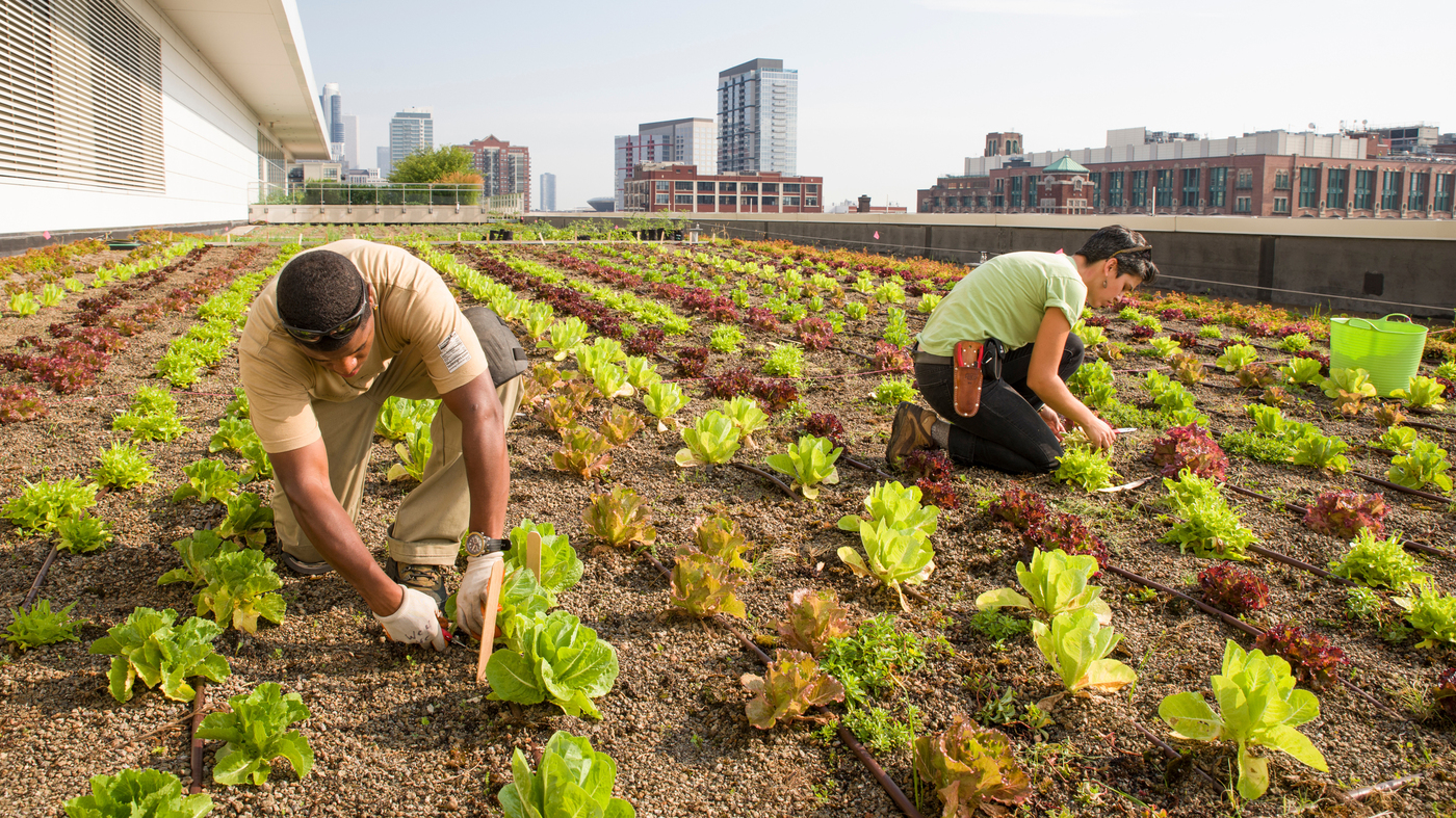 Rooftop Garden rooftop farming is getting off the ground : the salt : npr
