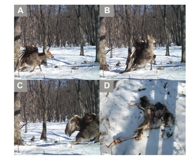 Golden Eagle Attacks Deer, A Photo Of An Epic Confrontation
