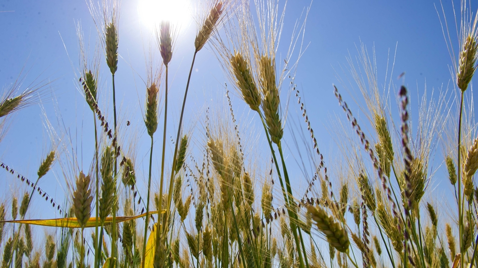 About 40 years ago wheat breeders introduced new varieties of wheat that helped farmers increase their grain yields. But scientists say those varieties aren't linked to the rise in celiac disease. (AFP/Getty Images)