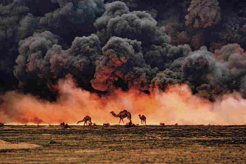 Under the black clouds of burning oil fields during the Gulf War, camels forage desperately for shrubs and water in southern Kuwait. 1991