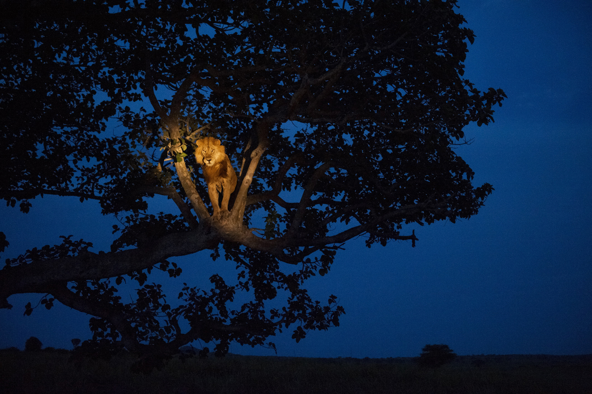 A lion climbs a tree to sleep, in Uganda's Queen Elizabeth Park. 2011