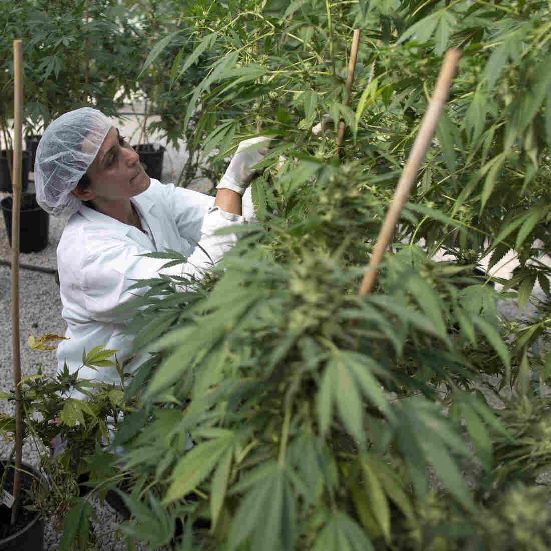 A new free market for medical marijuana in Canada will replace small growers with large-scale indoor farms.
