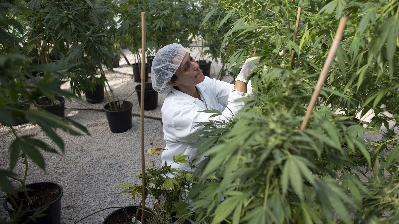 Освободите марихуану экстракция из конопли