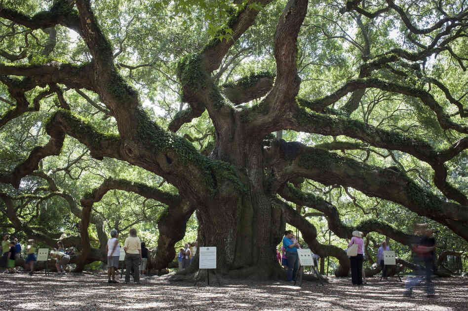 Visitors have flocked to the Angel Oak tree just outside Charleston, S.C., for generations. A local group has until late November to raise funds to buy a parcel of land that they say is needed to protect the live oak from develop
