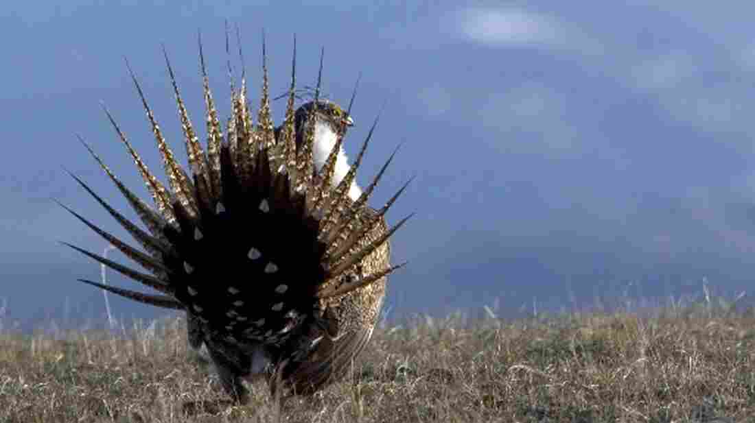 It's all in the booty. If a wild male sage grouse doesn't strut his stuff right, he may never mate. Ever.