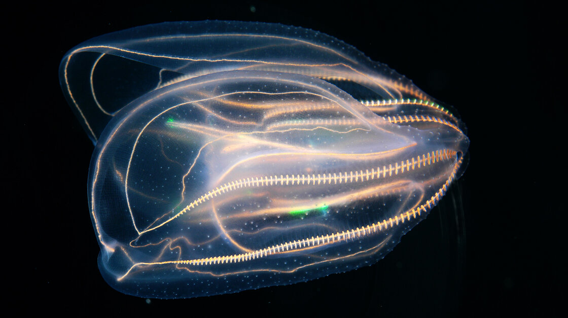 Comb jelly from Gulf of Mexico, at Texas State Aquarium.