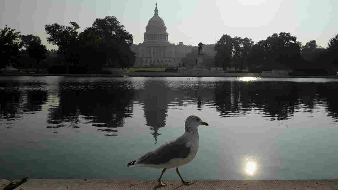 A seagull walks on the edge of the reflecting pool near the Capitol on Friday.