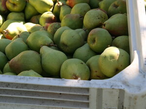 Some of this season's Comice pear harvest is rotting in Pacific Northwe