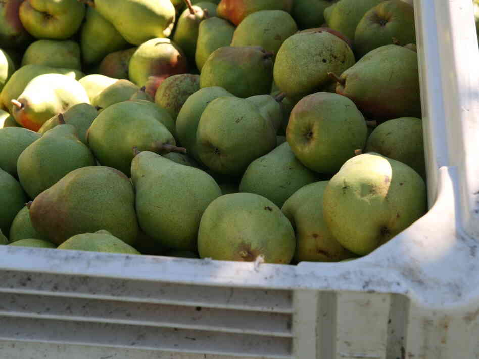 Some of this season's Comice pear harvest is rotting in Pacific Northwest orchards because there aren't enough workers to pick it.