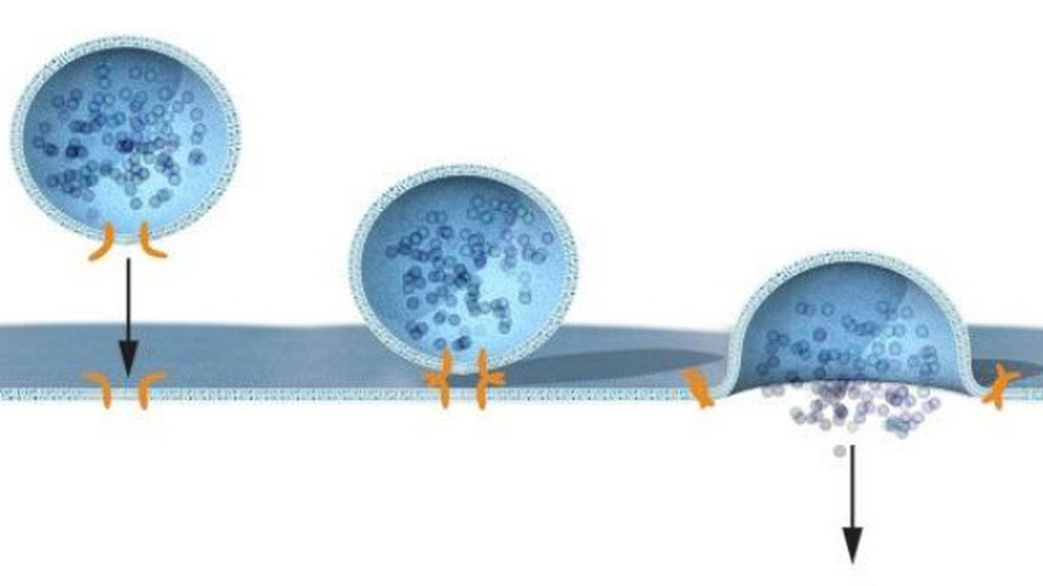 How does insulin get into the blood? The hormone (dark blue) is carried to the cell surface in a bubble-like compartment, called a vesicle. When the vesicle binds with the cell membrane, it pops open and releases the insulin. (Courtesy of the Nobel Prize)