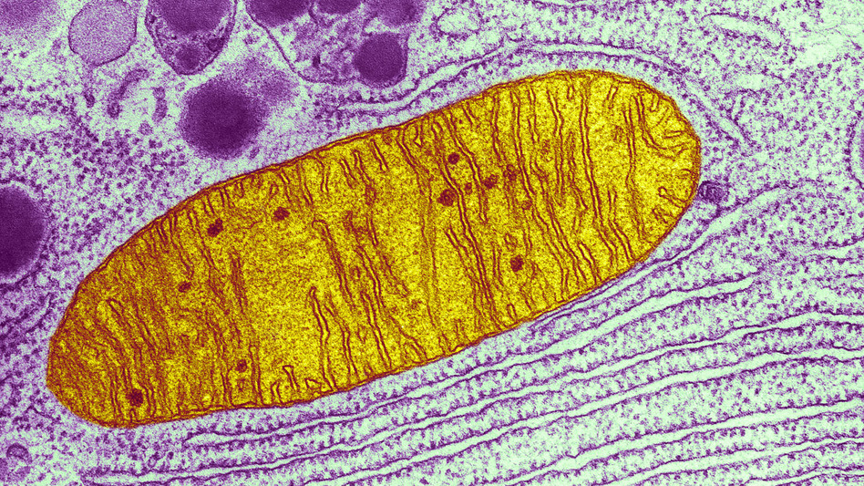 This micrograph shows a single mitochondrion (yellow), one of many little energy factories inside a cell. (Keith R. Porter/Science Source)