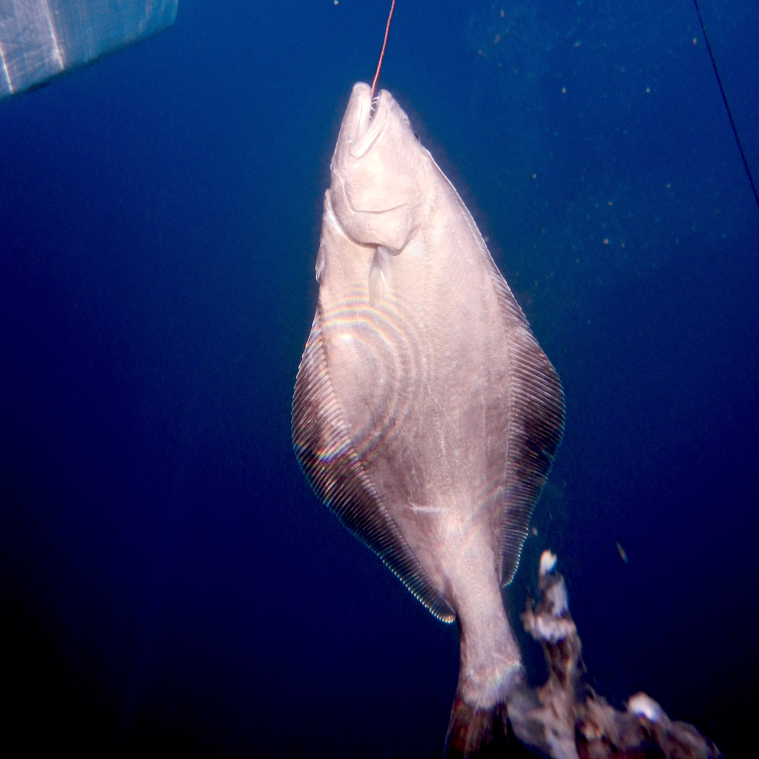 A halibut is seen on the line of a fisherman in Ilulissat, Greenland.