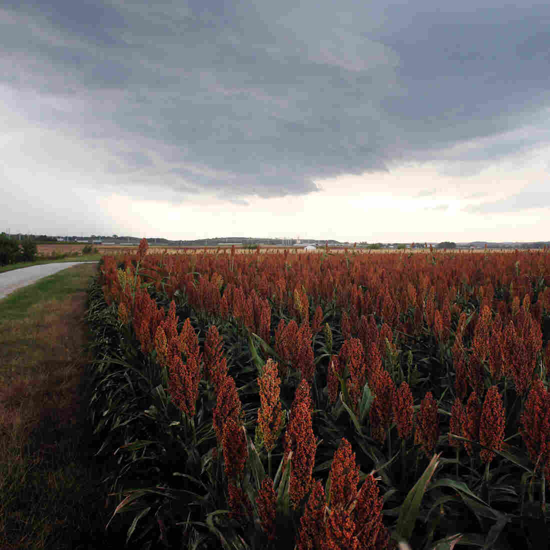 Heat, Drought Draw Farmers Back To Sorghum, The 'Camel Of Crops'