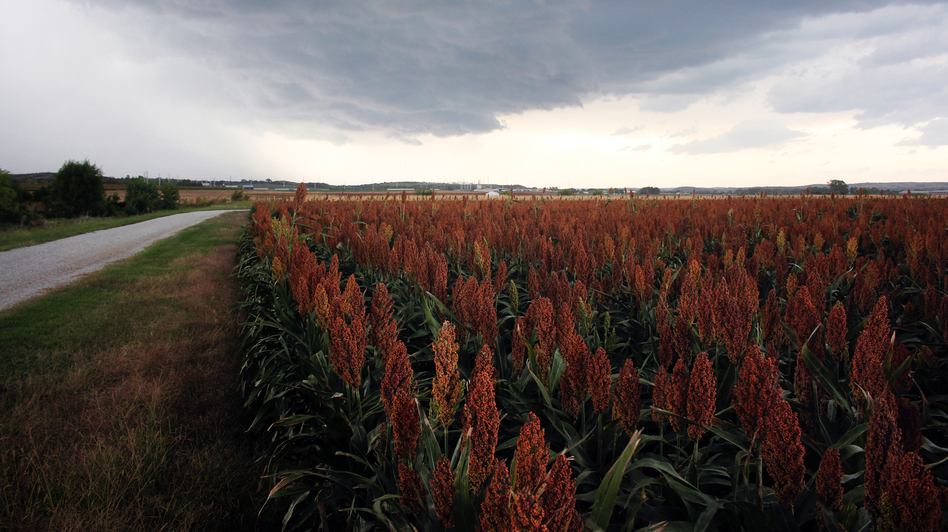 A test field of sorghum outside Manhattan, Kan., planted by Kansas State University. (NPR)