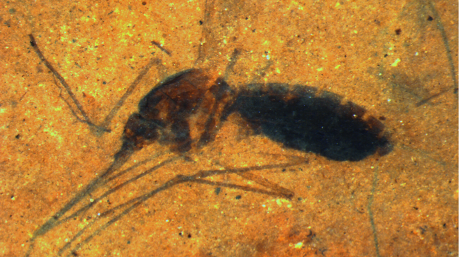 A very old squished mosquito found in fossilized rock from Montana. Analysis of the insect's gut revealed telltale chemicals found in blood.