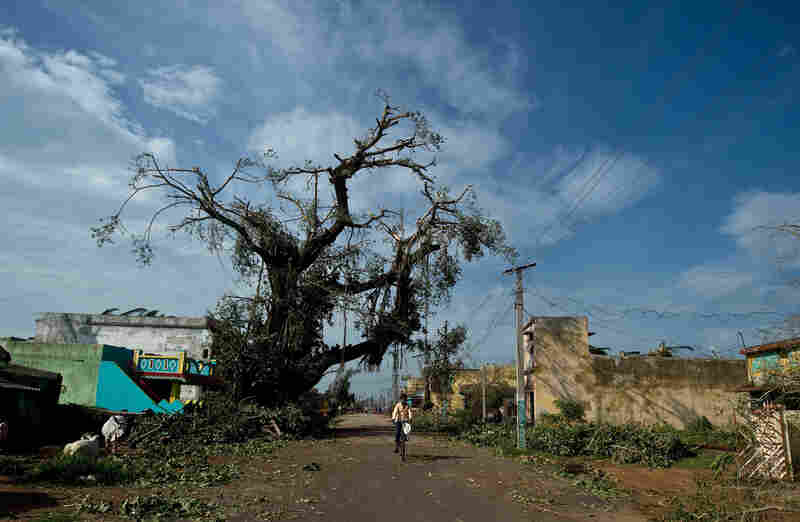 A man rides a bicycle past an uprooted tree in Gopalpur.