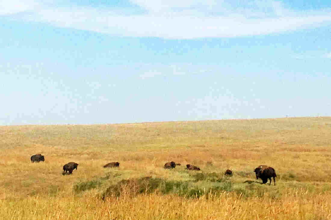 A herd of 34 bison, pure of any cattle genes, have been introduced from Yellowstone National Park to the Fort Belknap Indian Reservation in northern Montana.