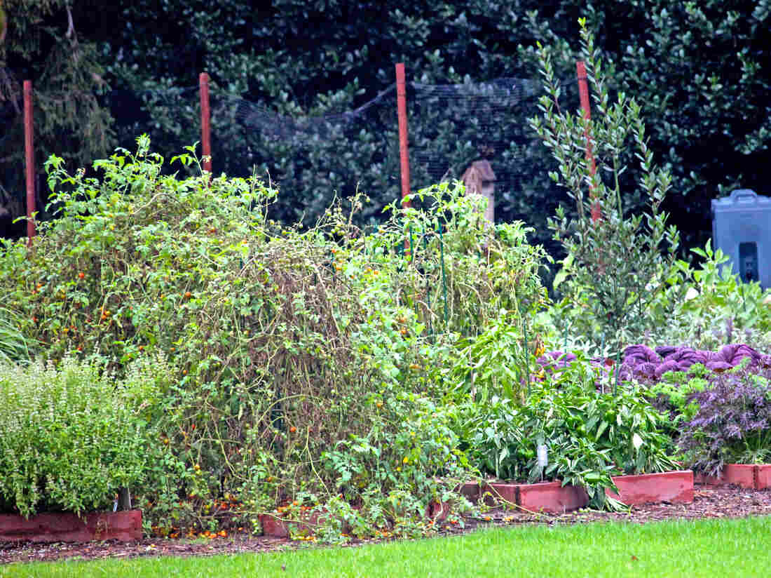 Basil, tomatoes, peppers and lettuces grow in garden beds on the South Lawn of the White House. According to the site Obama Foodorama, the government shutdown has had a dramatic effect on the garden.
