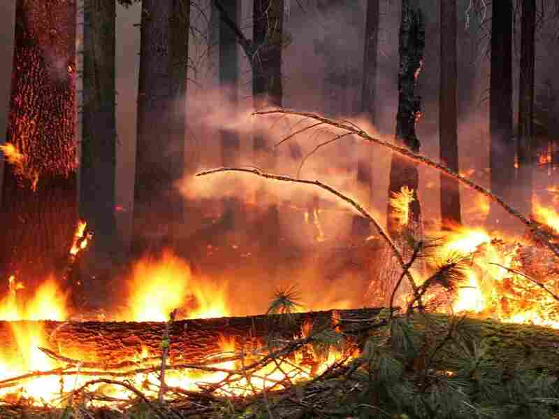 At more than 400 square miles, the Rim Fire is the largest Sierra Nevada fire in recorded history.