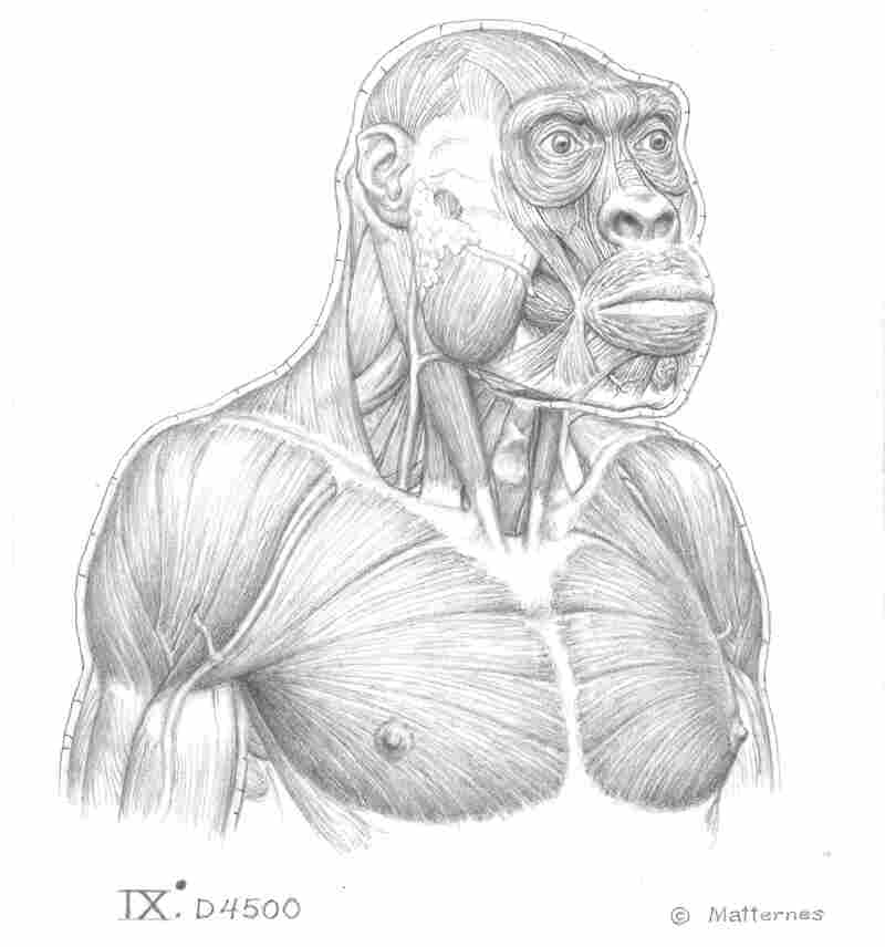 This illustration shows a beneath-the-skin look at the proposed muscular structures of the 1.8 million-year-old individual discovered in Georgia.
