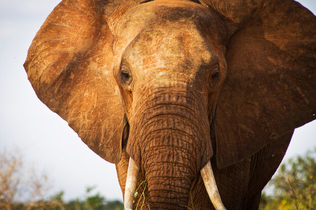 An elephant in Kenya's Tsavo East National Park, home to some 13,000 of these remarkable animals.