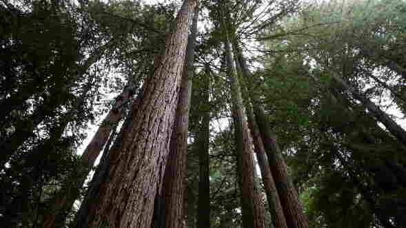 Coast redwood trees stand at Muir Woods National Monument in Mill Valley, Calif. Redwoods are the biggest trees on Earth by height — they can grow more than 350 feet tall. But their range is quite limited: They only grow along the coast of Northern California and southern Oregon.