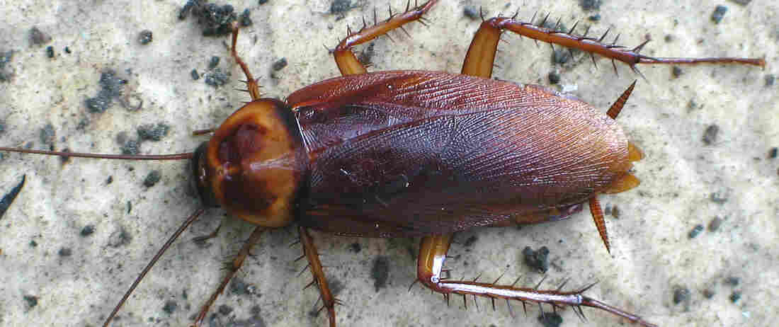An American cockroach, like the ones raised on Chinese cockroach farms.