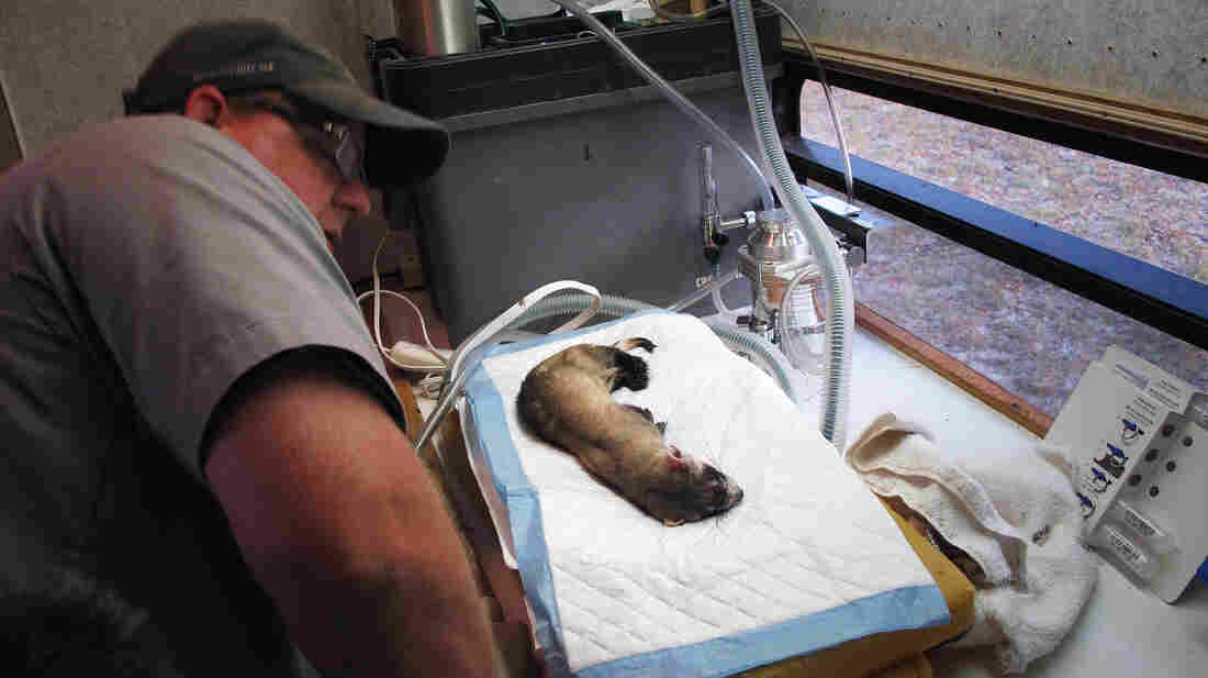 Biologist Travis Livieri checks a briefly sedated ferret's health status inside an improvised trailer clinic.