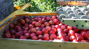 Michigan Apple Harvest Recovers, But Pickers Are Scarce