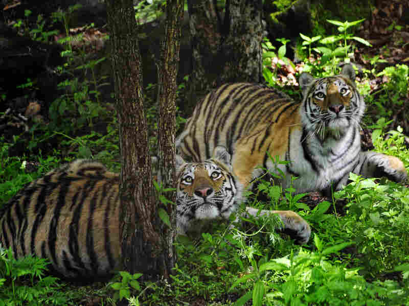 Siberian tigers at a wildlife park in Primorsky Krai in Russia's Far East. Illegal logging in the region is seen as a threat to the habitat of the tigers, whose numbers are dwindling number.