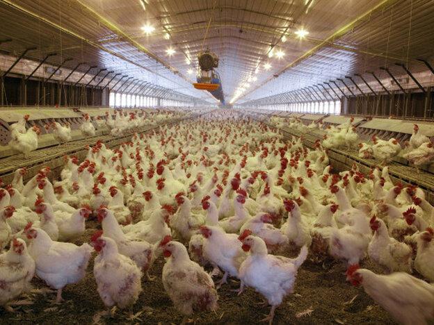 Chickens in a mechanized hatchery in Monroe County, Ala.