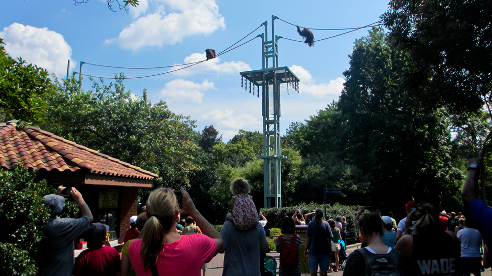Orangutans travel via the O Line to the delight of human visitors at the Smithsonian's National Zoo in Washington, D.C.