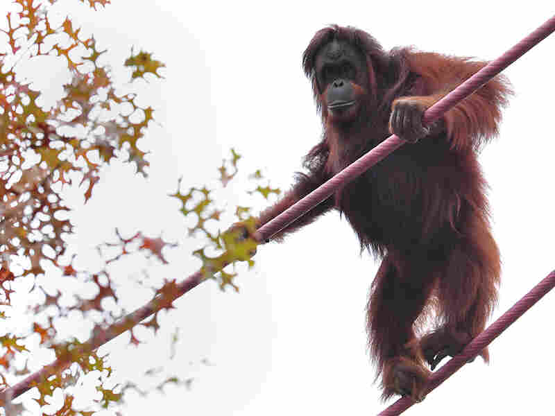Orangutans can get exercise and look down their noses at zoo visitors, thanks to cables that stretch from one side of the primate habitat to the other.