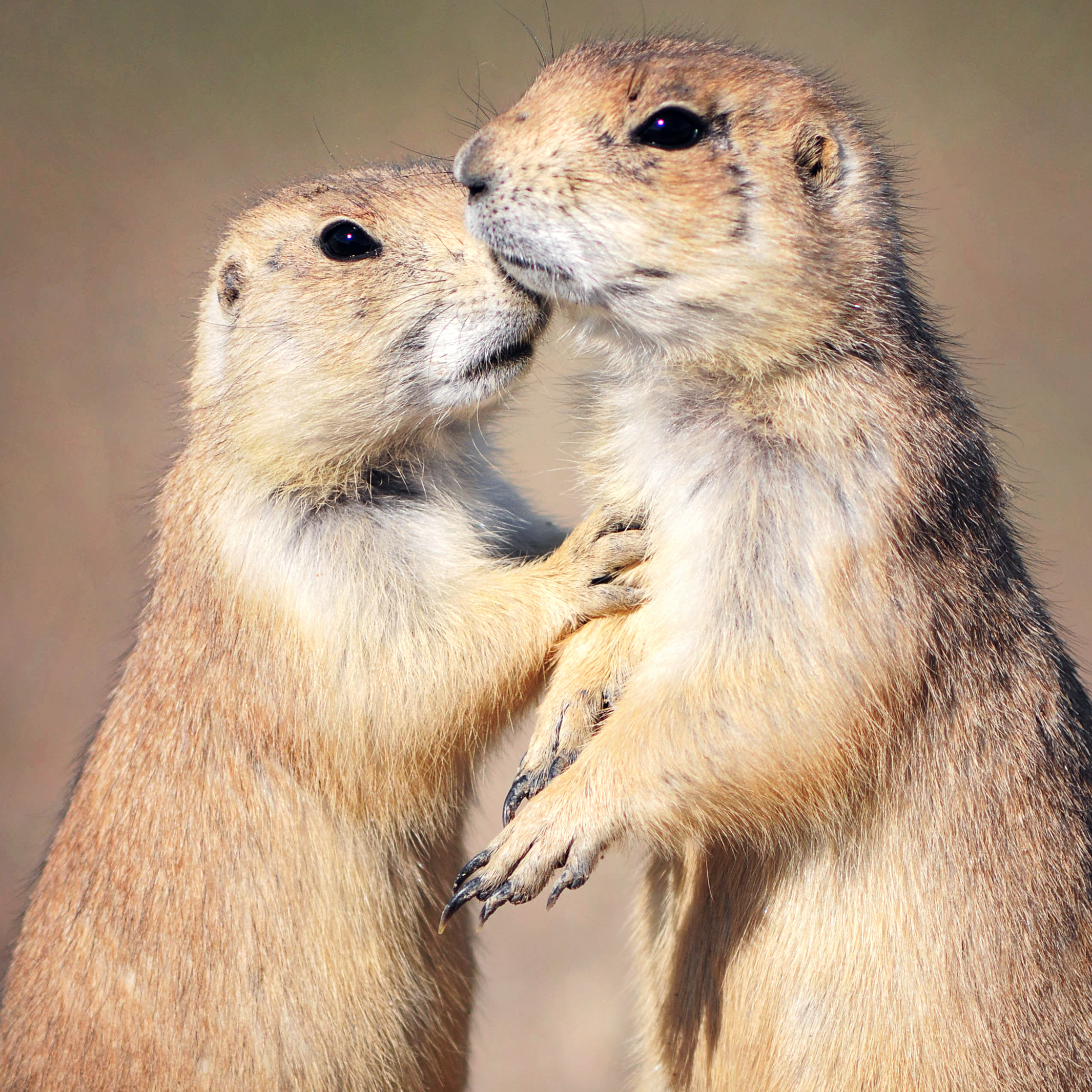 Prairie dogs are among ferrets' favorite prey.