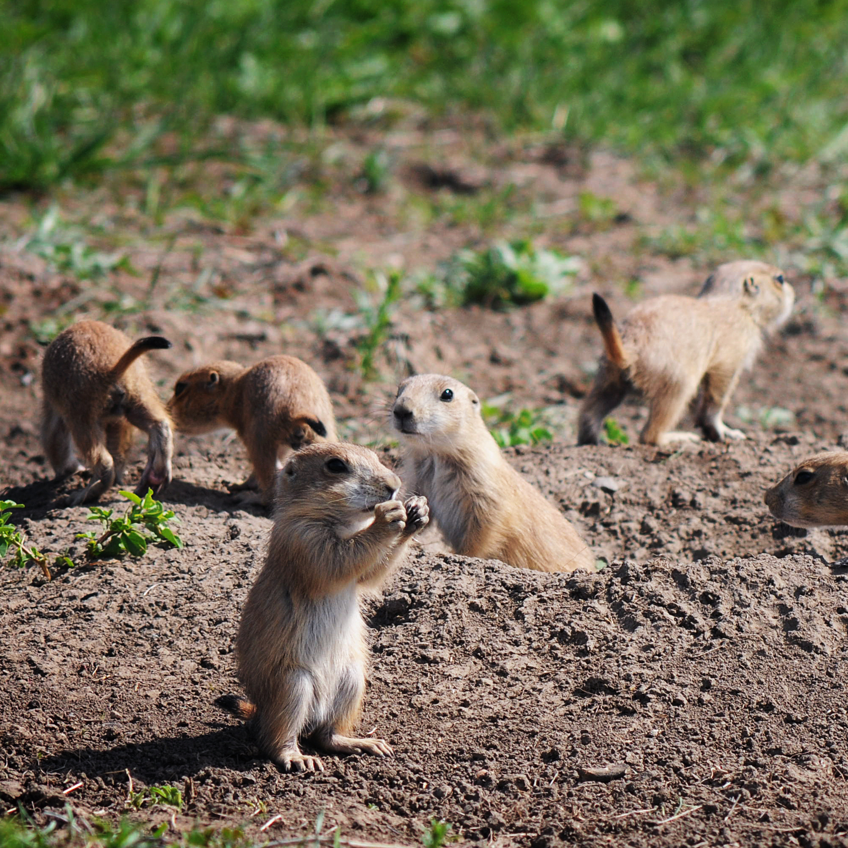 Prairie dogs are ferrets' chief prey. The two species often share tunnels -- and plague-infested fleas.