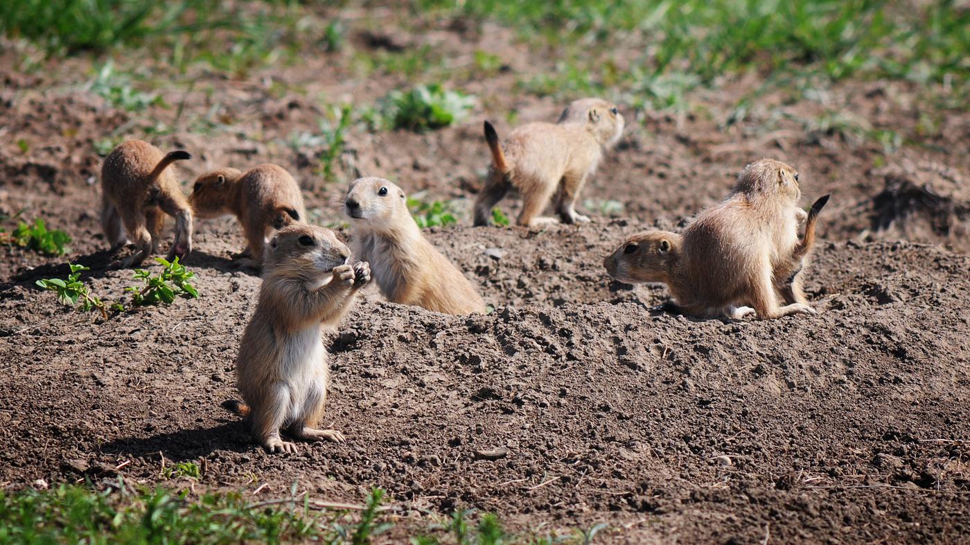 Black Footed Ferret Chasing Prairie Dog