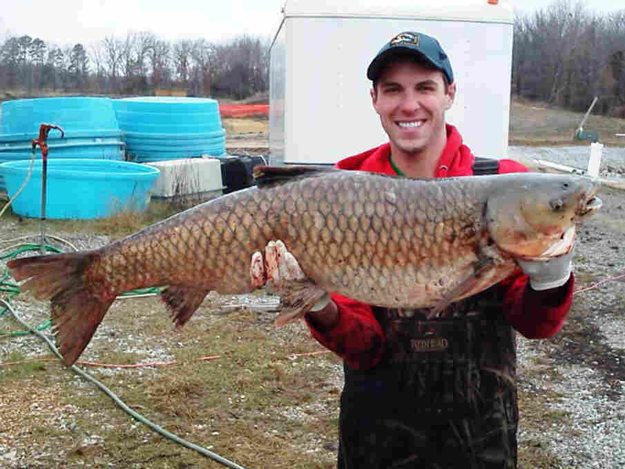 Tommy Goszewski, a technician with the U.S. Geological Survey, holds a grass carp taken from a pond at an agency lab in Columbia, Mo., in spring 2013.